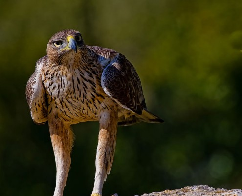 Ver aves en Arribes del Duero