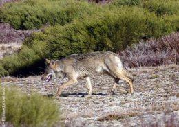 ver lobos en familia