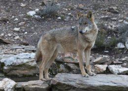 Lobo en el Centro del Lobo de Robledo