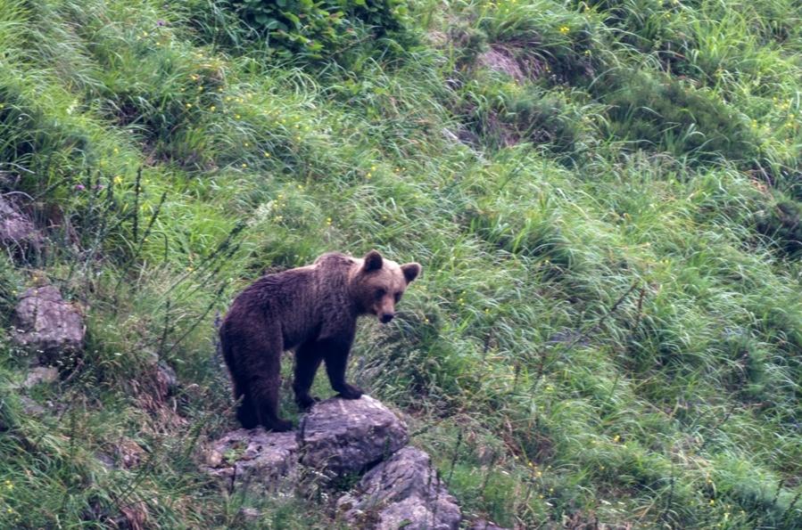 ver osos asturias