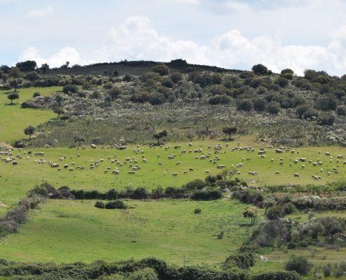 ovejas aldeadavila