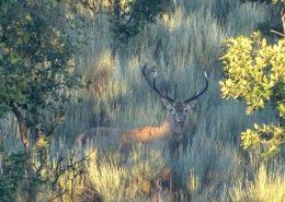 berrea del ciervo