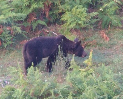 excuriones-para-ver-osos-en-asturias