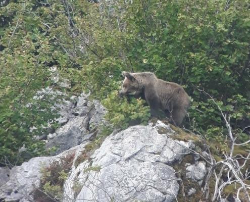 osos-en-asturias