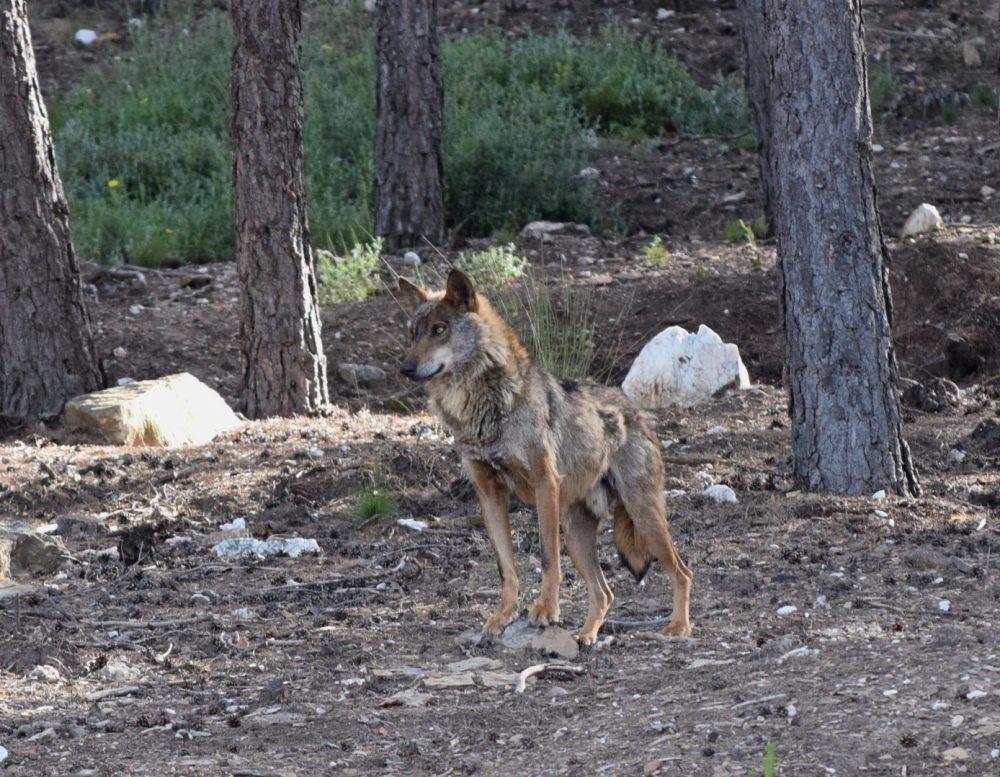 ver lobos en zamora