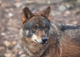 sierra-culebra-lobos