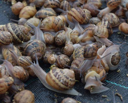 criar caracoles