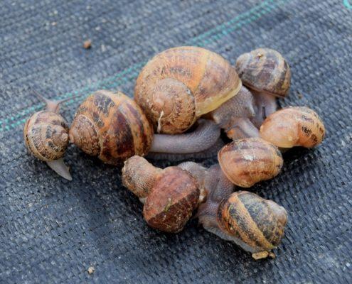 invernadero de caracoles