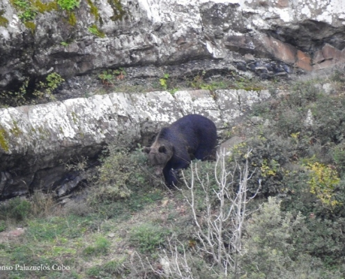 oso-liebana