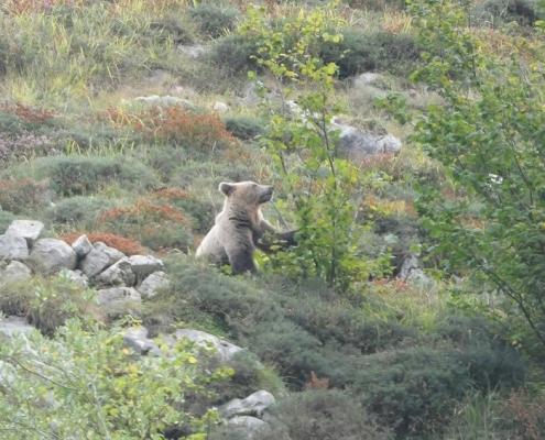 oso-montaña-palentina