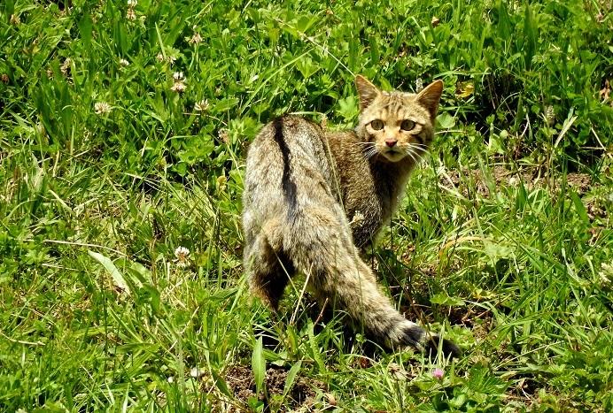 ver gato montes