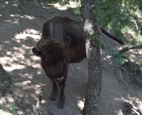 bisonte-europeo-san-cebrian-de-muda